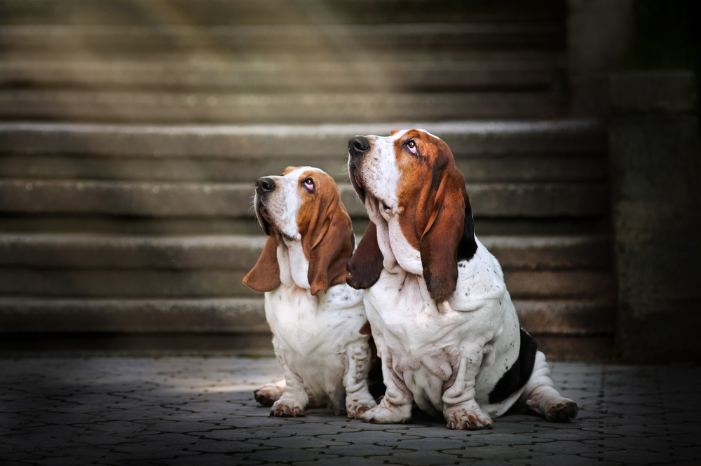 Two,Dog,Basset,Hound,Sitting,And,Looks,Up,At,Light